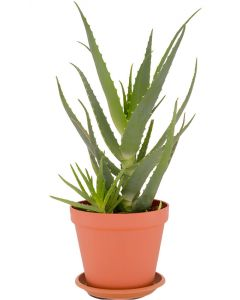 Aloe Arborescens Pflanze
