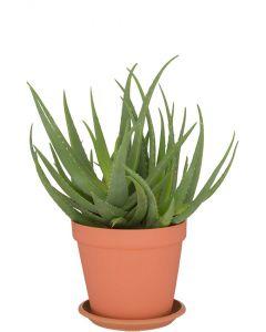 Aloe agens Hybride