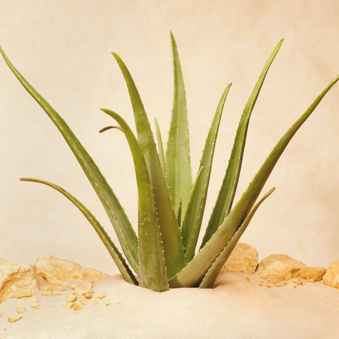 Aloe Vera Zentrum Aloe Vera Linné Pflanze